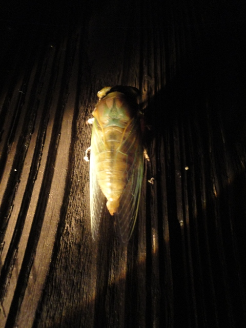 クマ蝉の羽化・観察日記(幼虫~羽化する1時間半)…2011/7/26_f0231709_1171559.jpg
