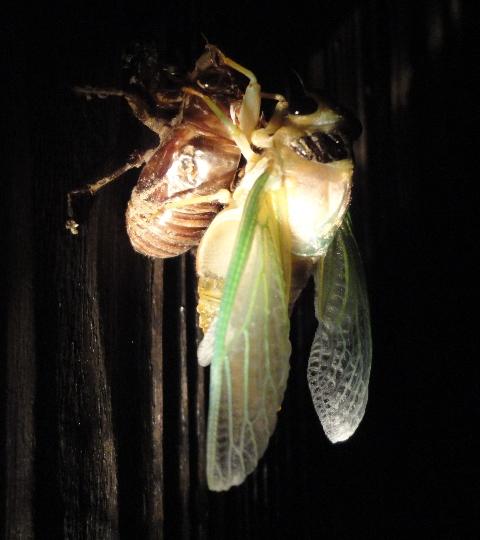 クマ蝉の羽化・観察日記(幼虫~羽化する1時間半)…2011/7/26_f0231709_6261674.jpg