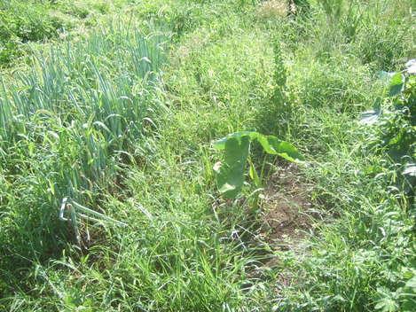 暑い夏は....スイカ食べながら草取りです。_b0137932_7103216.jpg