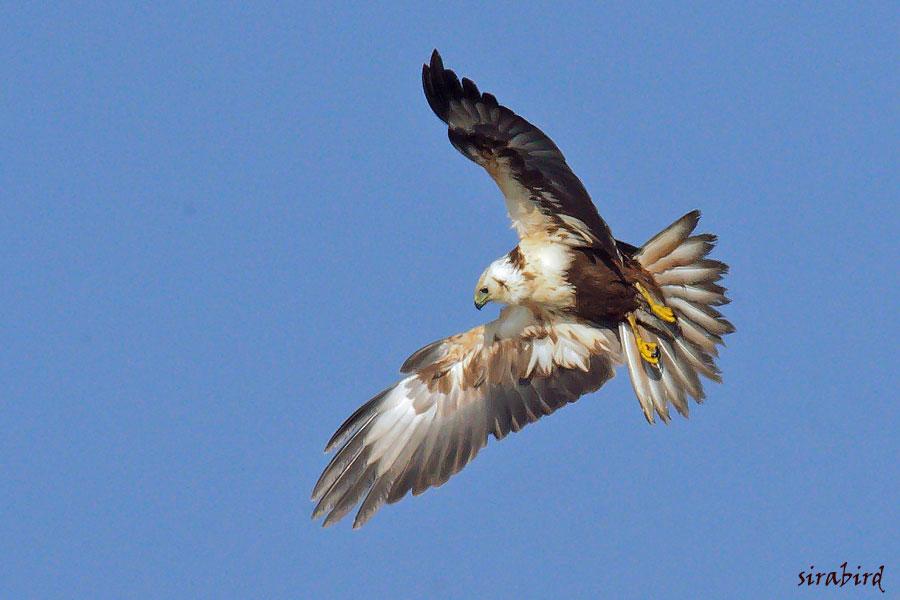 チュウヒ(冬鳥 全長:雄約48㎝、雌約58㎝)_d0238245_16451782.jpg