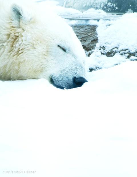 白クマの夢_f0201226_2025144.jpg