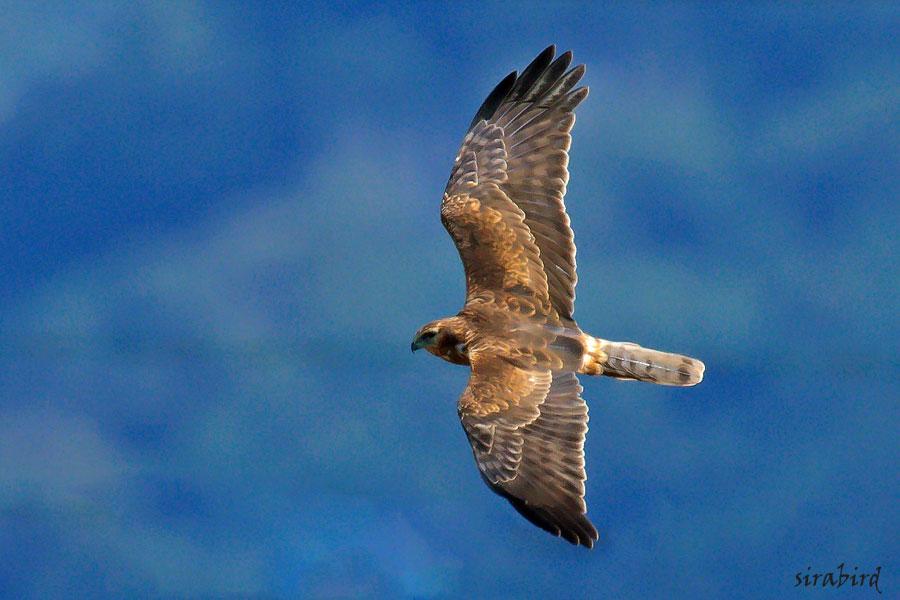 チュウヒ(冬鳥 全長:雄約48㎝、雌約58㎝)_d0238245_10423268.jpg