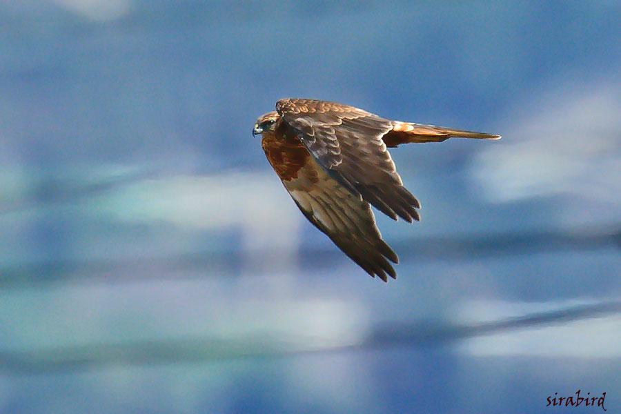 チュウヒ(冬鳥 全長:雄約48㎝、雌約58㎝)_d0238245_10424691.jpg