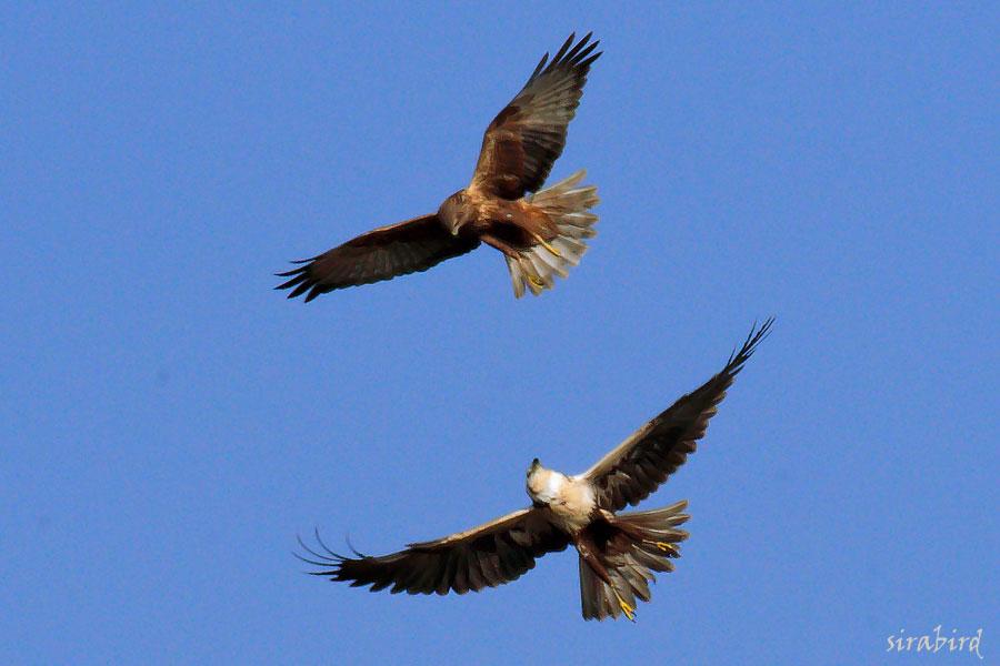 チュウヒ(冬鳥 全長:雄約48㎝、雌約58㎝)_d0238245_10562357.jpg