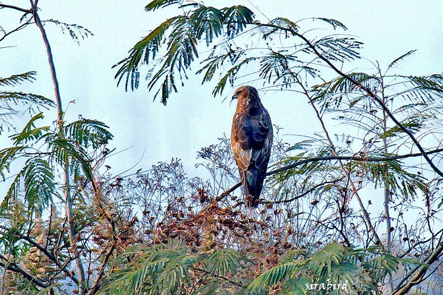 チュウヒ(冬鳥 全長:雄約48㎝、雌約58㎝)_d0238245_11125938.jpg