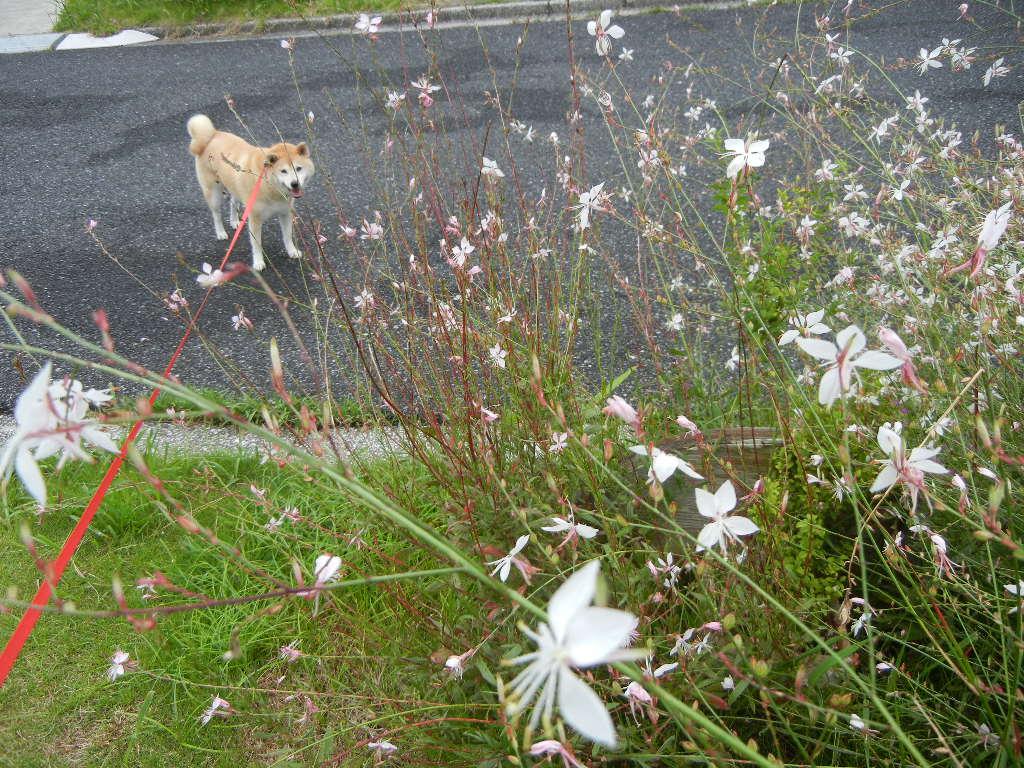 7月27日(水)今日は雨、で、涼しいです!_f0060461_10372556.jpg