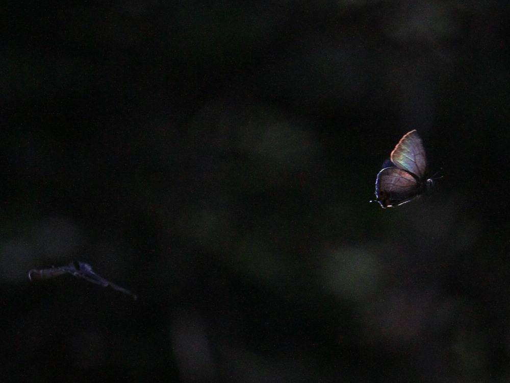 アイノミドリシジミ  暗闇のデュエル  2011.7.24長野県_a0146869_431253.jpg