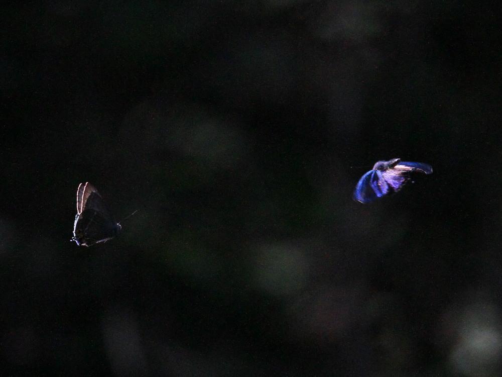 アイノミドリシジミ  暗闇のデュエル  2011.7.24長野県_a0146869_435965.jpg