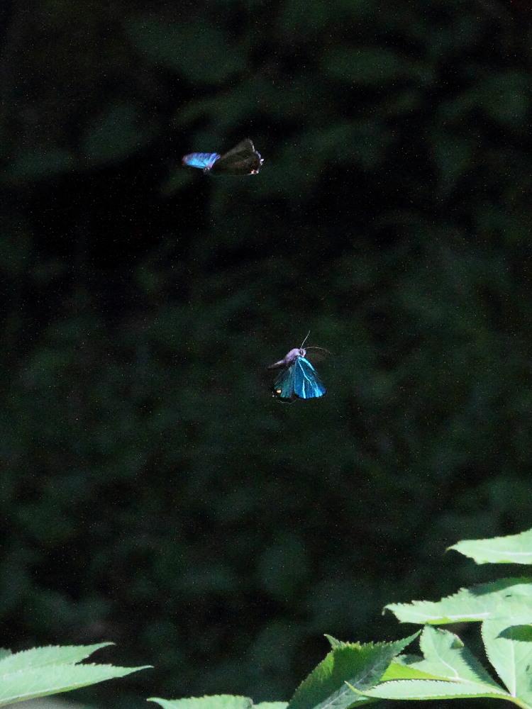 アイノミドリシジミ  暗闇のデュエル  2011.7.24長野県_a0146869_482231.jpg