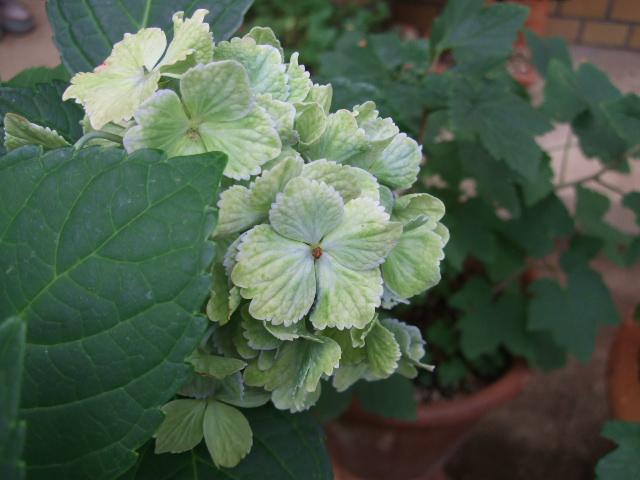 オークリーフ(ハーブの花)_f0049672_12521649.jpg