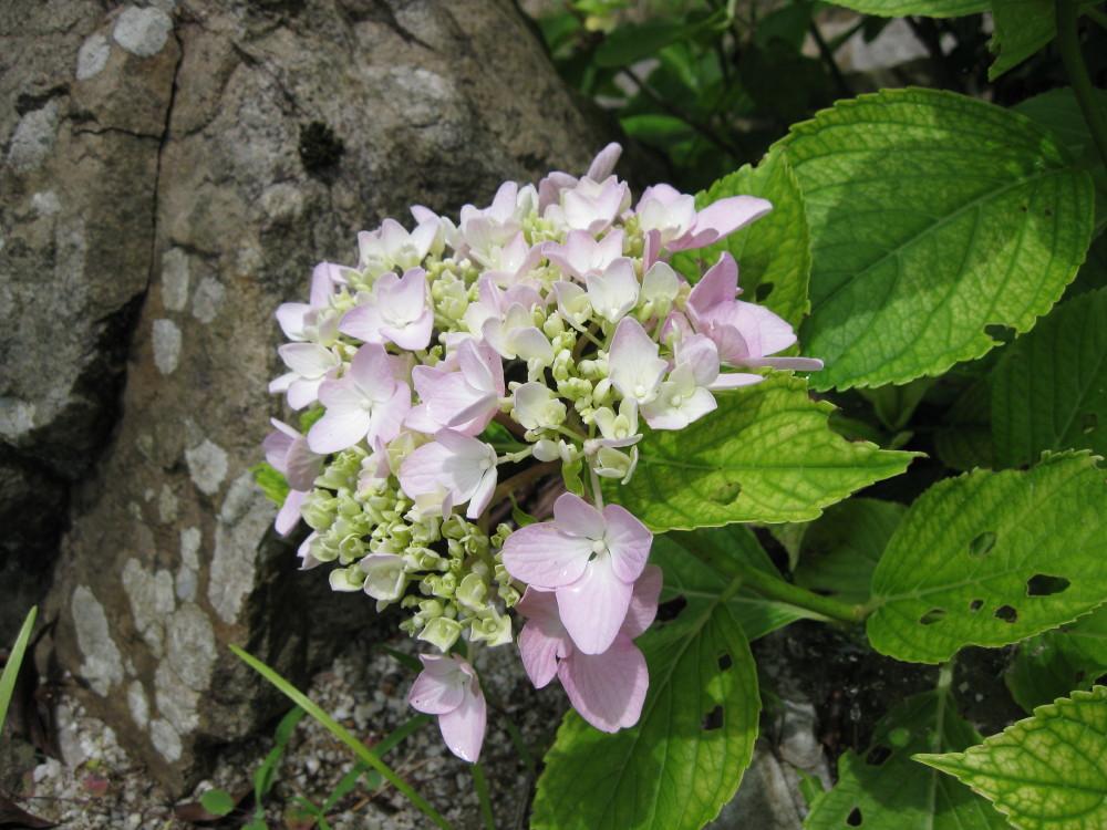 夏の花 ①_c0218213_22442237.jpg