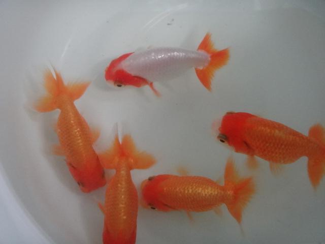 熱帯魚・水草・金魚_f0189122_13193766.jpg
