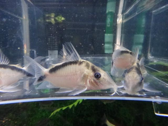 熱帯魚・水草・金魚_f0189122_1341884.jpg