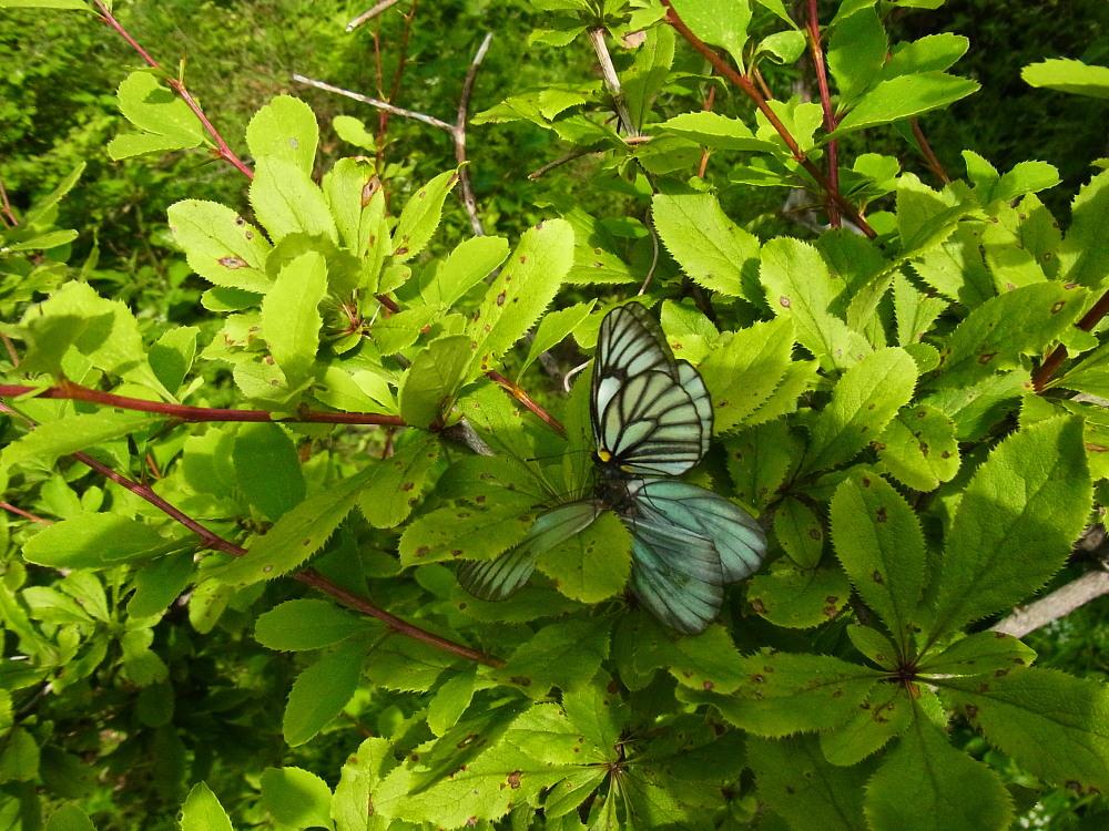 ミヤマシロチョウ  ♀雌のブルーは妖精のよう。  2011.7.24長野県_a0146869_6253656.jpg