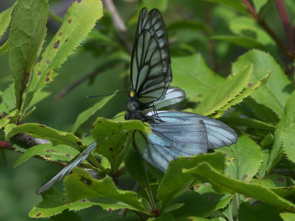 ミヤマシロチョウ  ♀雌のブルーは妖精のよう。  2011.7.24長野県_a0146869_6255383.jpg
