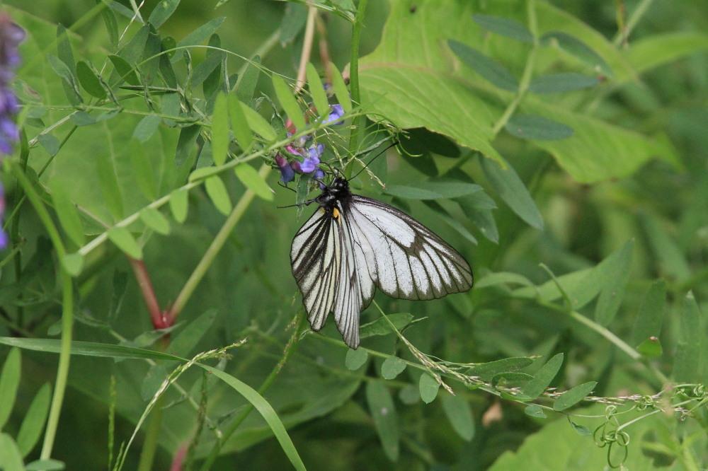 ミヤマシロチョウ  ♀雌のブルーは妖精のよう。  2011.7.24長野県_a0146869_6263531.jpg