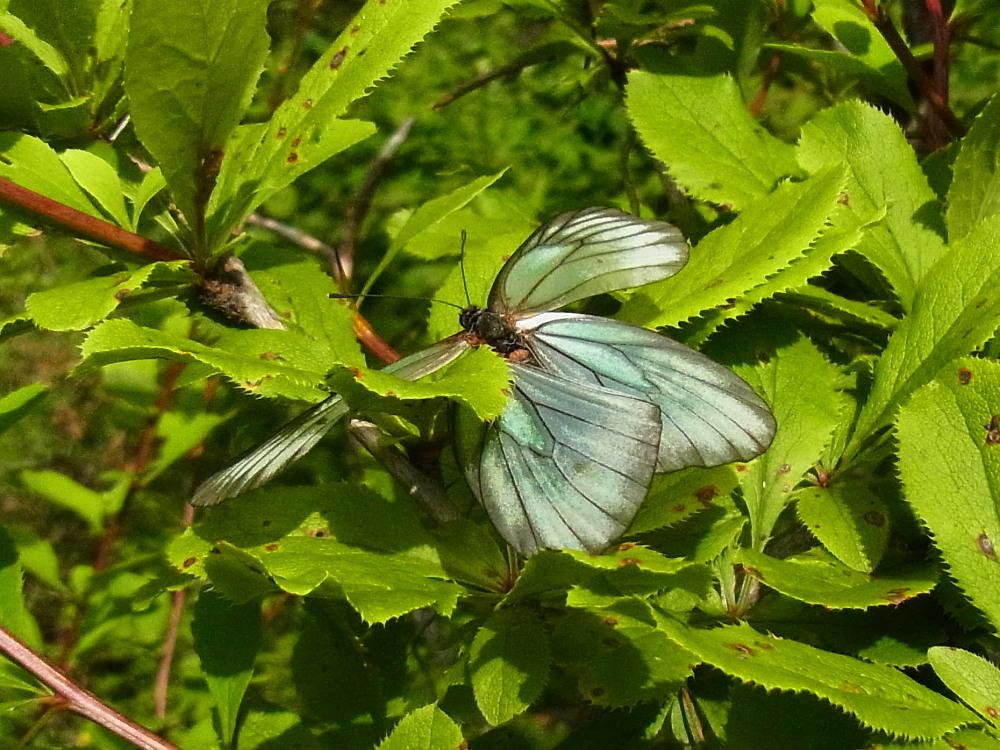 ミヤマシロチョウ  ♀雌のブルーは妖精のよう。  2011.7.24長野県_a0146869_626922.jpg