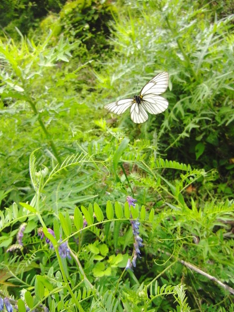 ミヤマシロチョウ  ♀雌のブルーは妖精のよう。  2011.7.24長野県_a0146869_6273615.jpg