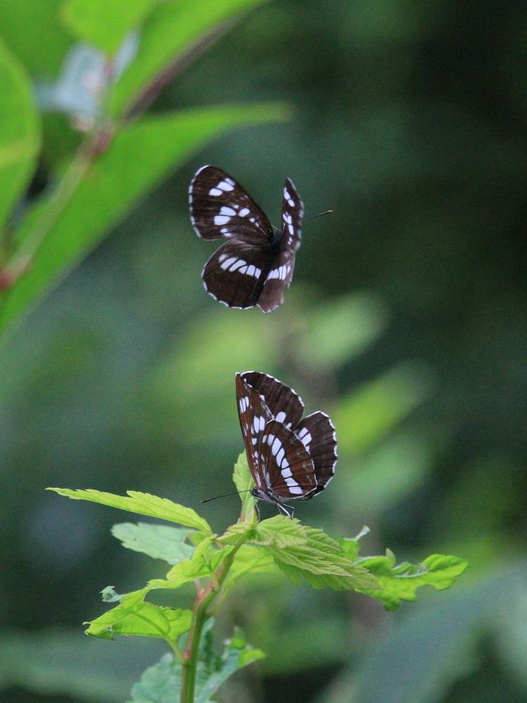 ミヤマシロチョウ  ♀雌のブルーは妖精のよう。  2011.7.24長野県_a0146869_630193.jpg