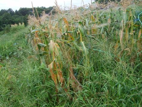 2代目トウモロコシが成長した。_b0137932_1451823.jpg