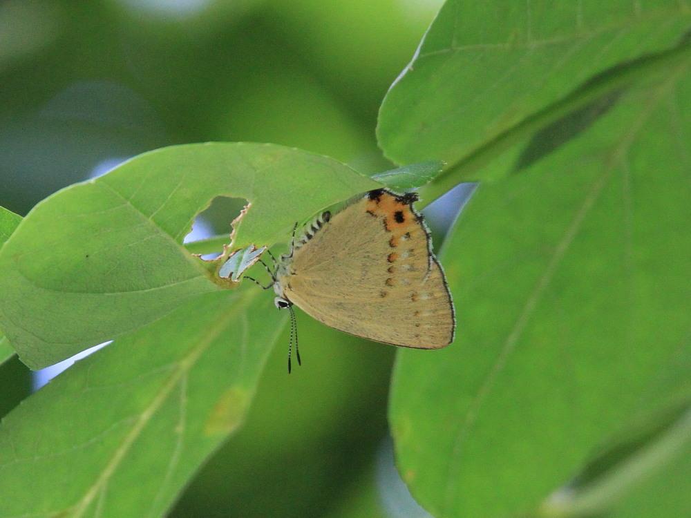 ウラキンシジミ  ♀雌の方が綺麗だったとは。  2011.7.24長野県_a0146869_6132571.jpg
