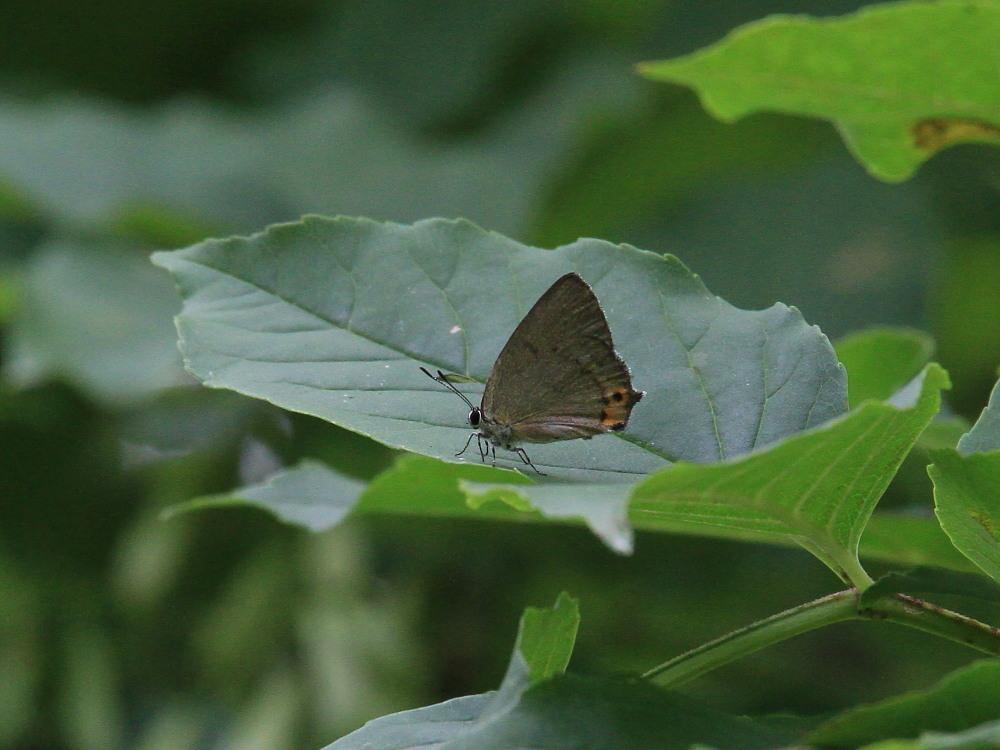ウラキンシジミ  ♀雌の方が綺麗だったとは。  2011.7.24長野県_a0146869_6144360.jpg