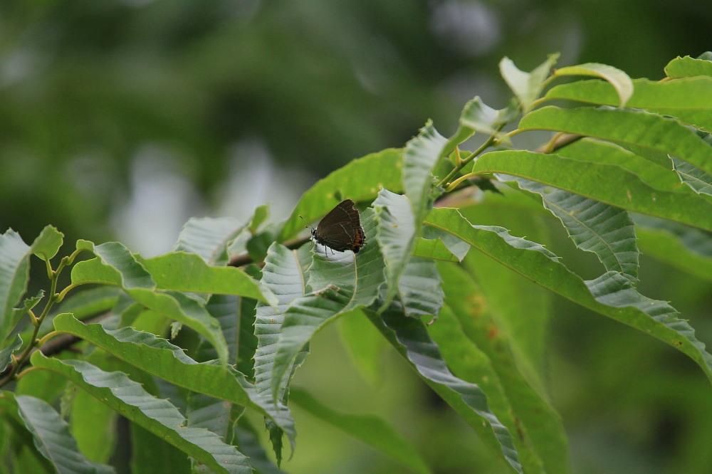 ウラキンシジミ  ♀雌の方が綺麗だったとは。  2011.7.24長野県_a0146869_6175294.jpg