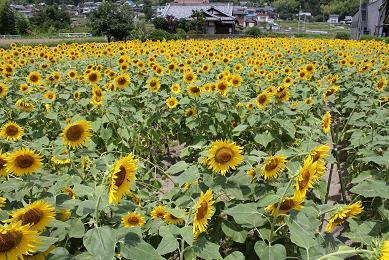太陽に微笑むヒマワリ_e0175370_16105659.jpg