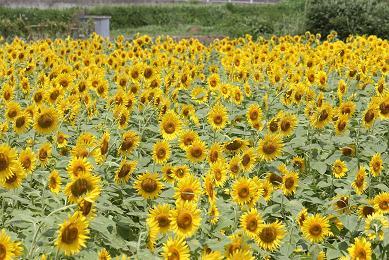 太陽に微笑むヒマワリ_e0175370_16111385.jpg