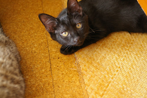 子猫の里親募集中 くまちゃん_a0064067_14181075.jpg