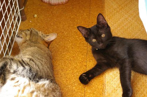 子猫の里親募集中 くまちゃん_a0064067_14183383.jpg