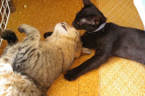 子猫の里親募集中 くまちゃん_a0064067_14185534.jpg
