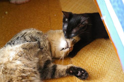 子猫の里親募集中 くまちゃん_a0064067_14193815.jpg