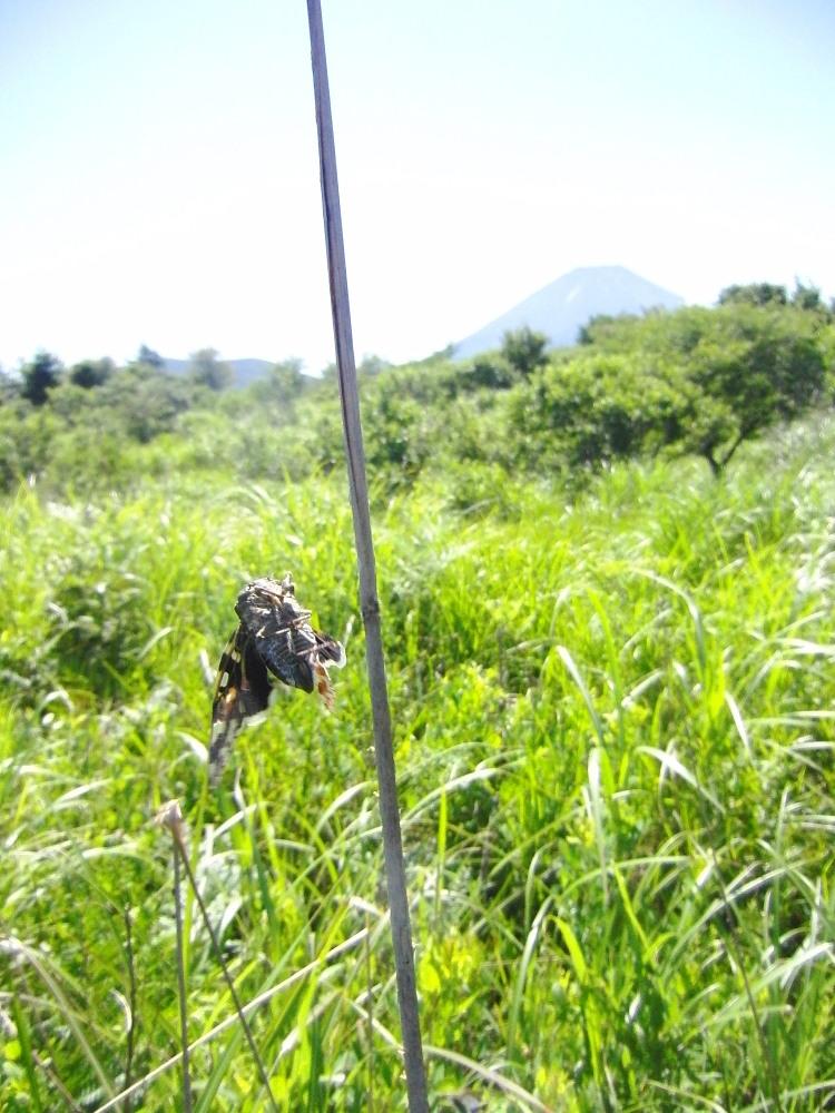 ミヤマカラスシジミ  富士山が似合います。  2011.7.23山梨県_a0146869_044211.jpg