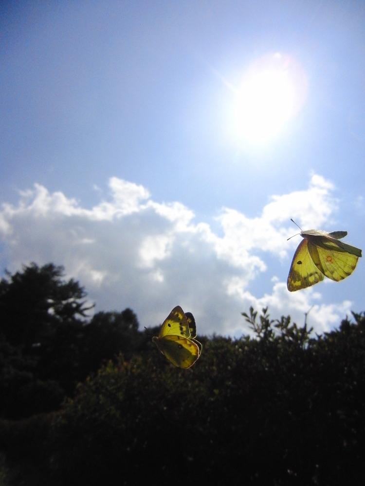 ミヤマカラスシジミ  富士山が似合います。  2011.7.23山梨県_a0146869_0453238.jpg
