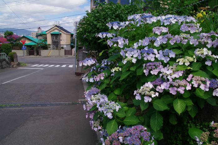函館あじさい    正しい週末の過ごし方 その6_b0103798_5294048.jpg