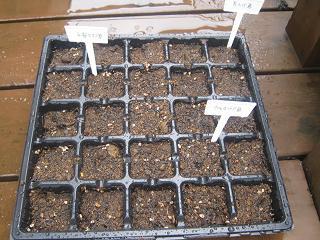 秋植え固定種種栽培_a0139242_4511640.jpg