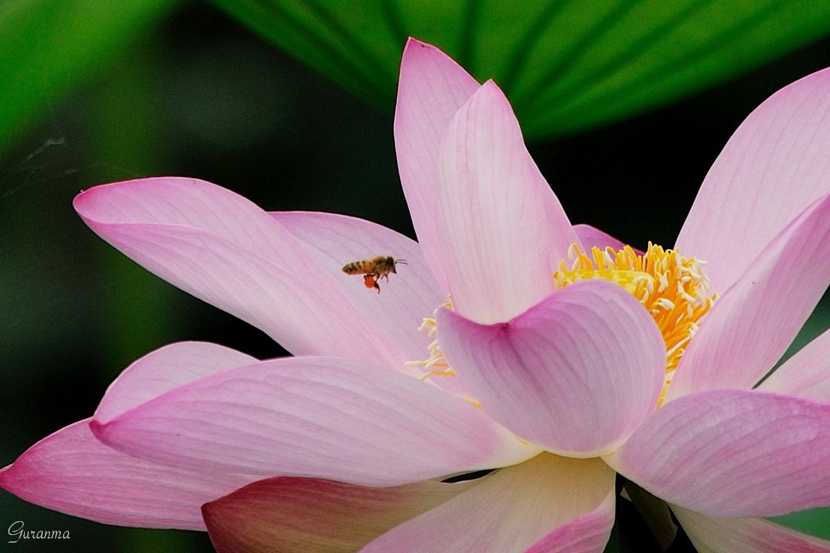 600mmで撮ったハスの花・_c0124055_2015558.jpg