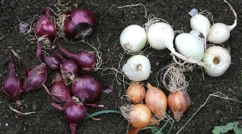 ワケギの発芽と分球玉葱の植え付け _f0018078_1714050.jpg