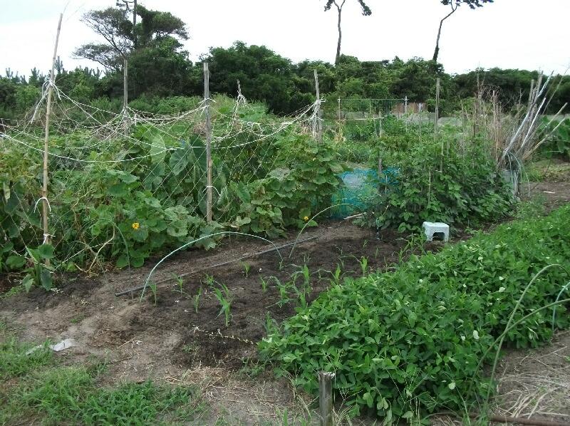 ワケギの発芽と分球玉葱の植え付け _f0018078_1723211.jpg