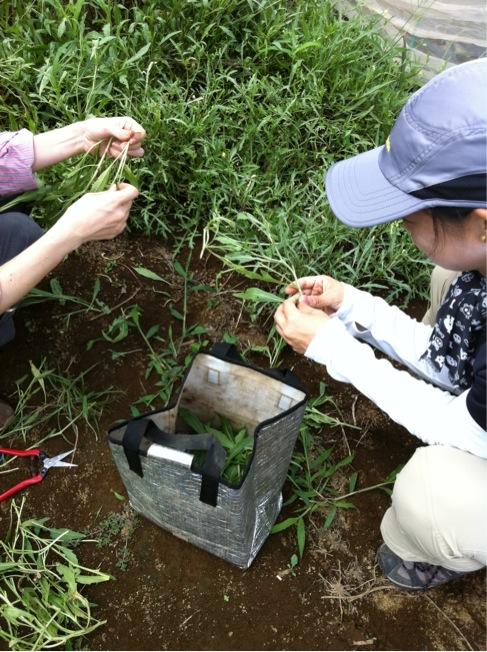 野生のルーコラの収穫を手伝って頂きありがとうございます_c0222448_1227568.jpg