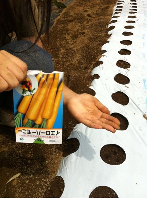今朝は、丸種種苗の人参イエローハーモニーを播種しました_c0222448_1250435.jpg