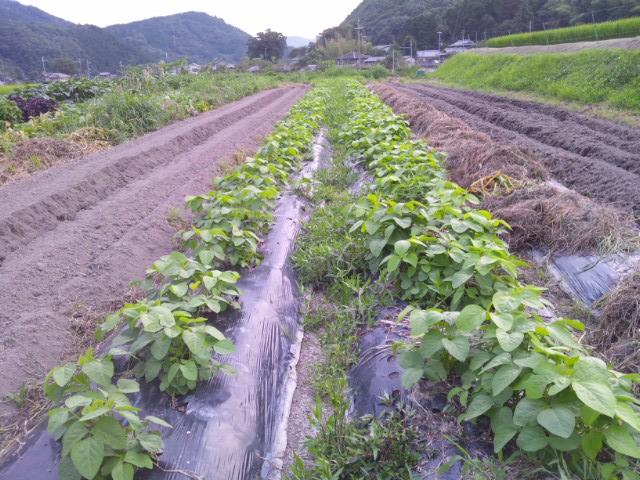 黒豆の2週間_a0138985_22424019.jpg
