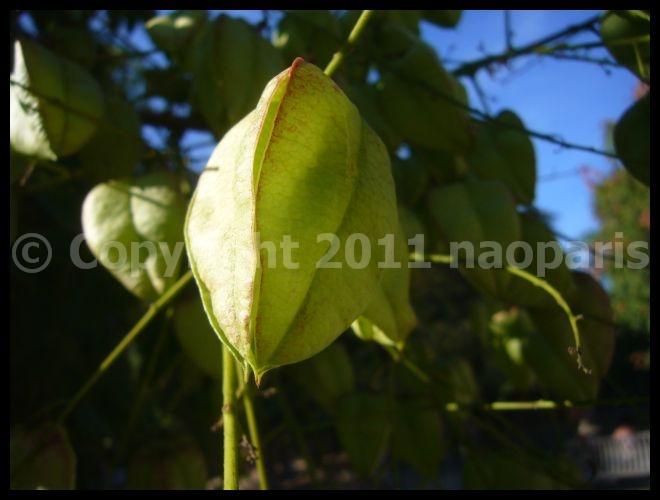 【街角の植物】モクゲンジKoelreuteria paniculata (Savonnier)_a0008105_20455937.jpg