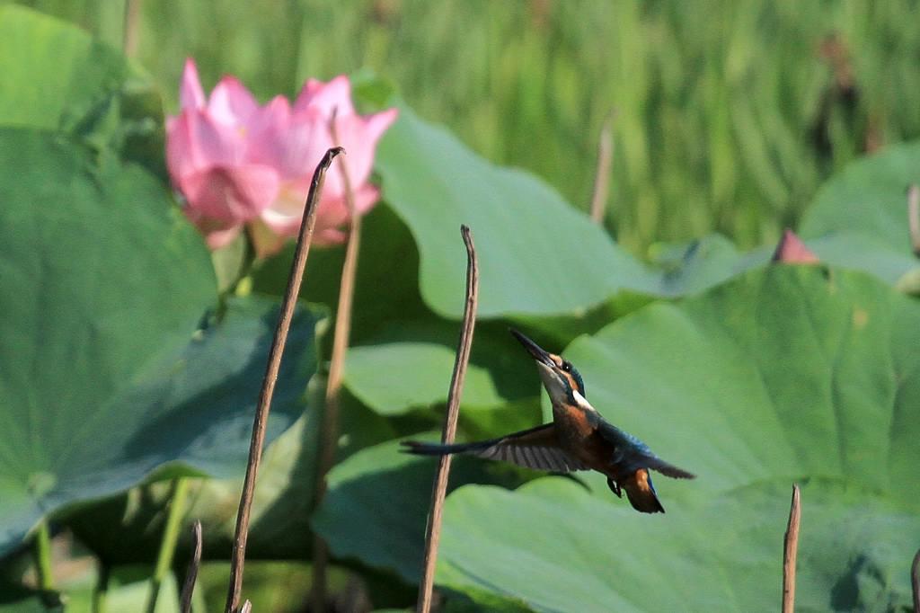 カワちゃんハスをバックに飛び付きです/幻の「高座スイカ」_b0024798_946244.jpg