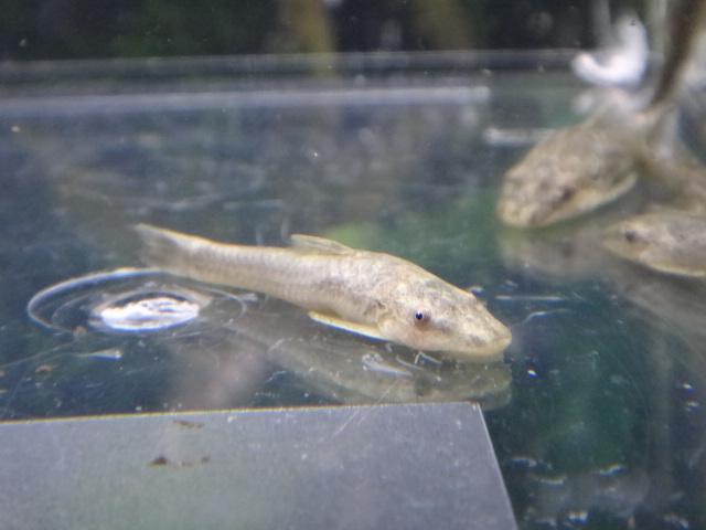 熱帯魚・水草・金魚_f0189122_1323878.jpg