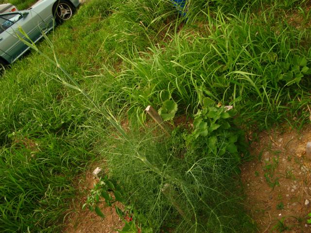 菜園育っているが・・_c0039145_9305779.jpg