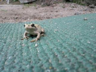 婆さん蛙ミミミの挨拶_d0027486_12511532.jpg