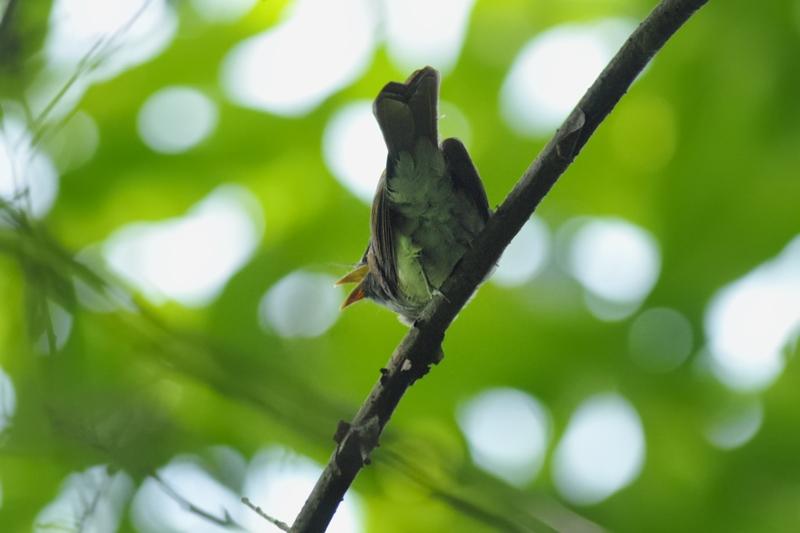 サンコウチョウ幼鳥_f0053272_11285491.jpg