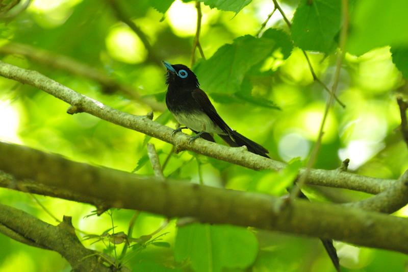 サンコウチョウ幼鳥_f0053272_123145.jpg